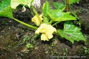 fiore-di-zucchina